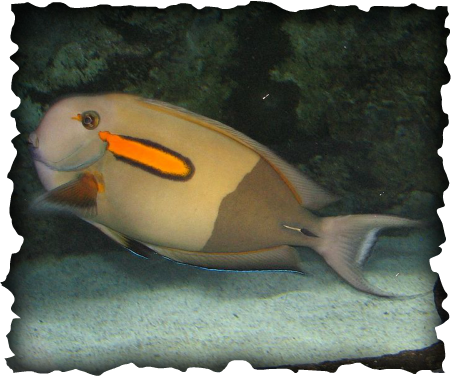 Acanthurus olivaceus, orangespot surgeonfish, surgeonfish, tangs, Hawaii, fish, reef, orange spot, scalpel