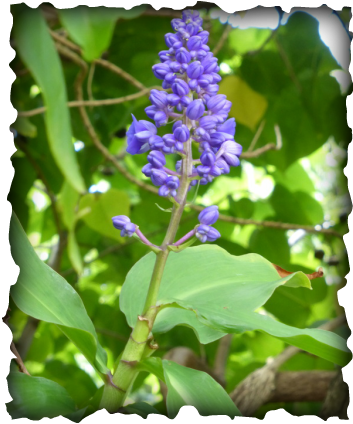 Blue ginger, Dichorisandra thyrsiflora, purple flower, Brazil, Hawaii, garden