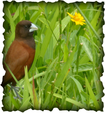 The Chestnut Munia, Lonchura atricapilla, Phillipines, Chestnut Mannikin, Black-headed Munia, bluish bill, thick bill, brown body, dark head, birds, Hawaii