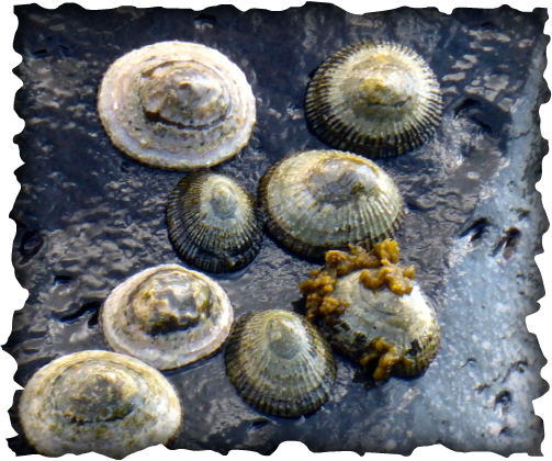 'opihi, limpet, blackfoot, yellowfoot, kneecap, 'Opihi Partnership, Cellana exarata, Cellana sandwicensis, marine snail, mollusc, gastropod