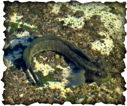 Istiblennius zebra, pāoʻo, zebra rockskipper, zebra blenny,  jumping jack, tidepools, fish, Hawaii, endemic, leap, striped, head crest