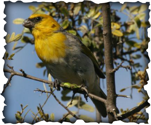 Palila, mamane, Sophora chrysophylla, Loxioides bailleui, honeycreeper, Hawaii, finch, critically endangered, bird, endemic, Mauna Kea, yellow head, nesting, threats, Mauna Kea Forest Restoration Project, Keauhou Bird Conservation Center