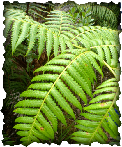 hapuu, hawaiian  tree fern, fern, nature, plants, cibotium glaucum, native plants, hapuʻu ʻiʻi, pulu
