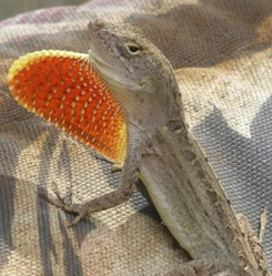 green anole, Anolis carolinensis, Hawaii, lizard, anole, herp, pink dewlap, displacement, decline, brown anole, intorduced, niche, arboreal