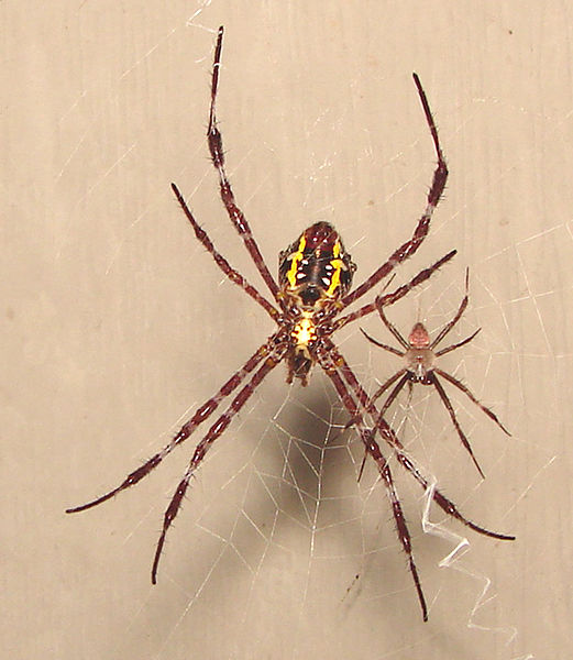 Argiope appensa, garden spider, Hawaii, Hawaiian garden spider, big yellow and black spider, spider web, pattern in web