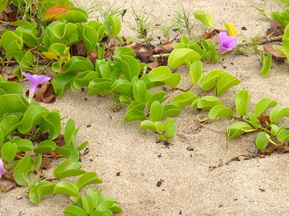 pohuehue, seaside morning glory, beach morning glory, vine, beach, coastal plant, purple flower, erosion control, indigenous plant