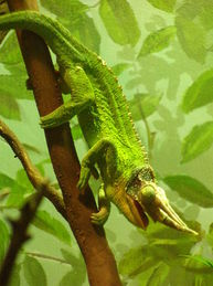 Jackson's chameleon, Chamaeleo jacksonii xantholophus, reptile, hawaii, three horns, horned chameleon, exotic species, tree snail, predation
