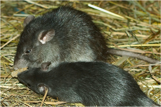 Polynesian rat, Pacific rat, Asian rat, Norwegian rat, Black rat, tree rat, roof rat, Rattus exulans, Rattus norvegicus, Rattus rattus, Hawaii, invasive species, rat tails