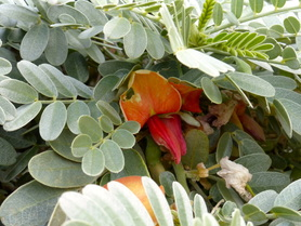 'Ohai, Sesbania tomentosa, endemic plant, Hawaii, Kaena point, coastal plant, red flower, grey leaves, pea family