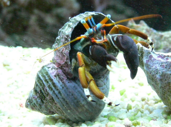 left handed hermit crab, blue and orange eye, crustacean, Hawaii, tidepools
