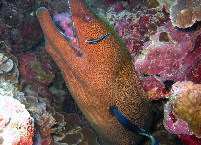 yellowmargin moray, Gymnothorax flavimarginatus, Hawaii, fish, spearfishing, large moray