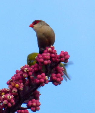 common waxbill, octopus tree, bird, hawaii, estrildid finch, seed eaters, small bird, red bill, red eye band