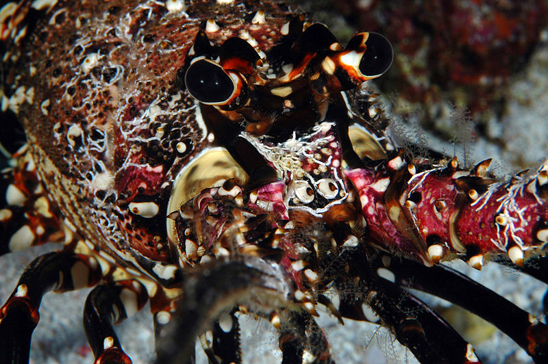 Hawaiian spiny lobster, crustacean, Hawaii, Panulirus marginatus, regulations, stridulations, audio, endemic, lobster
