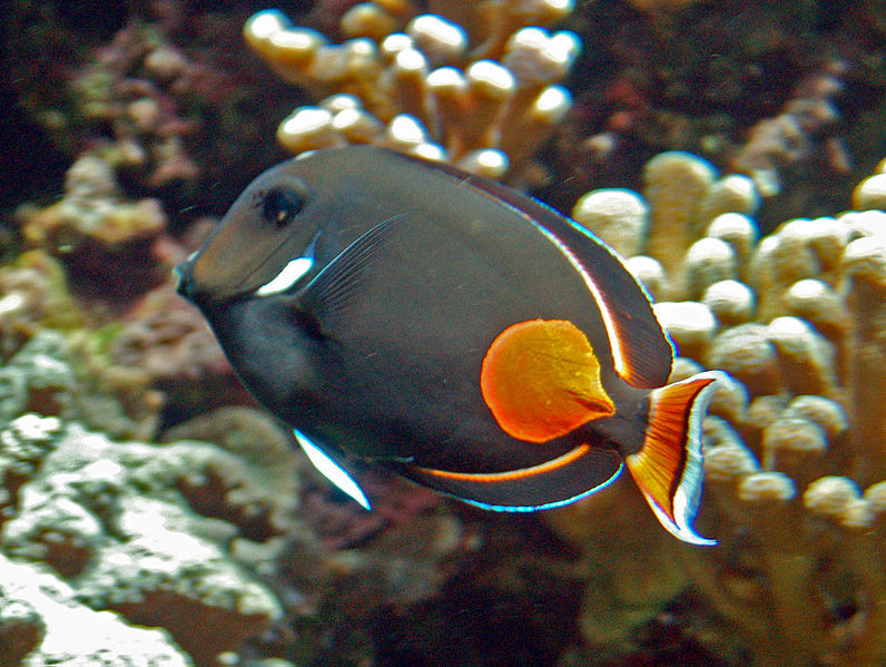 Acanthurus achilles, Achilles tang, fish, Hawaii, orange spot, black body, surgeonfish, tang