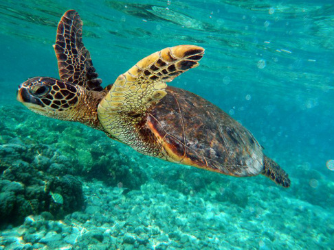 green sea turtle, honu,  chelonia mydas, reptile, marine, migration, French Frigate Shoals, hatchlings, herbivore