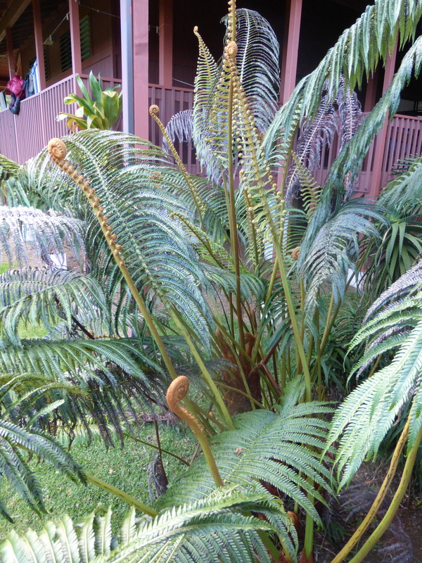 Cibotium glaucum, hapu'u pulu, tree fern, Hawaii,  endemic plants, plants, native