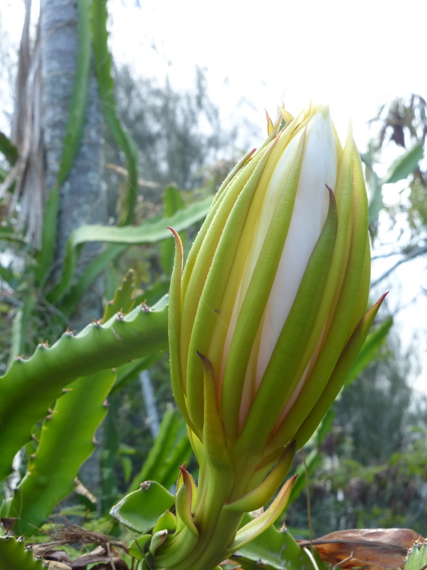 My hawaii nature journal hawaii nature journal ight blooming cereus panini o kapunahou pitahaya pitaya dragon fruit hylocereus mightylinksfo