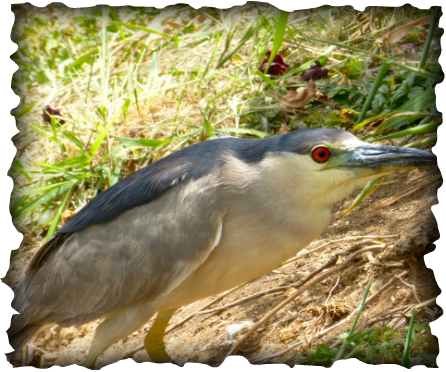 black capped night heron, heron, birs, hawaii, nature, marsh bird, 'auku'u, red eye, Hamakua marsh, wetlands, Nycticorax nycticorax hoactli