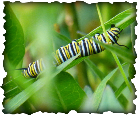 monarch, caterpillar, monarch caterpillar, hawaii, insects, tropical milkweed, Asclepias curassavica