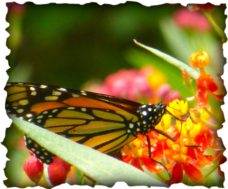 insects, invertebrates, monarch butterfly, hawaii, tropical milkweed, milkweed, Asclepias curassavica