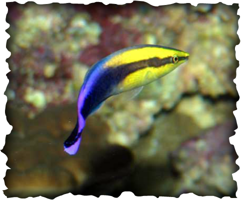 Hawaiian Cleaner Wrasse, Labroides phthirophagus, fish, Hawaii, marine animals, wrasse