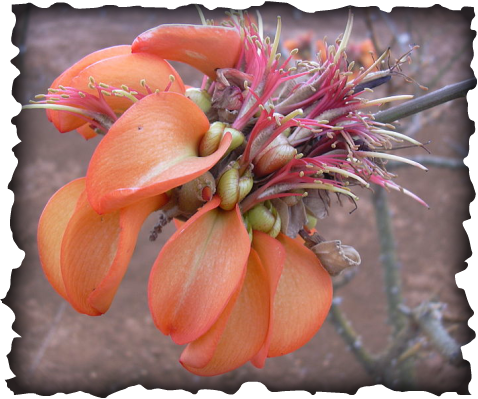 wiliwili, kahoolawe, Erythrina sandwicensis, endemic plants, dryland forests, coral tree, coral bean tree, seed pod, orange seeds, red seeds