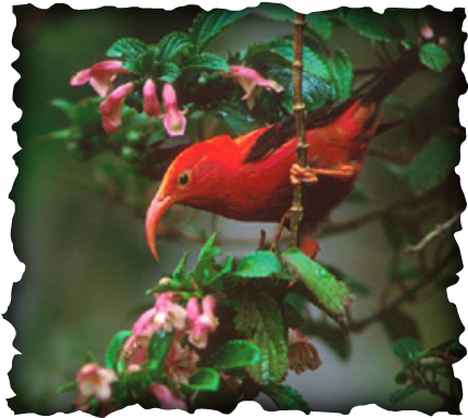 'I'iwi, Hawaii, honeycreeper, red and black bird, curved bill, culex mosquito, red bill, Vestiaria coccinea, native birds, endemic bird, nectar feeder