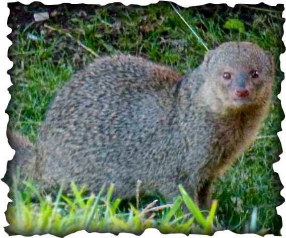 mongoose, hawaii, Herpestes javanicus, small asian mongoose, Herpestes auropunctatus, mongoose Kaua'i, oppotunistic, nene, moli, ground nesting birds, slytherin, diet, sugar cane