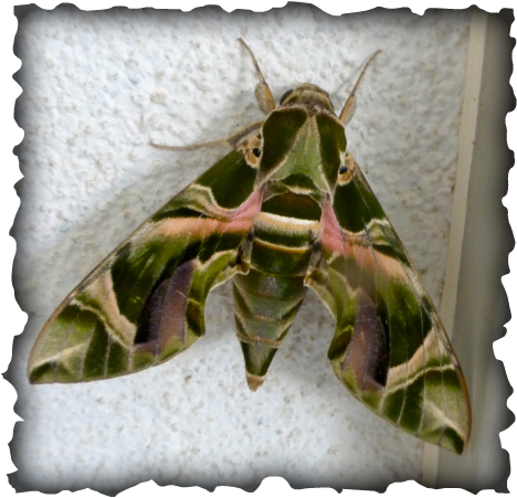 Oleander hawk moth, army moth, army green moth, Daphnis nerii, Hawaii, Maui, big moth, green caterpillar, blue eyespots, eyespots