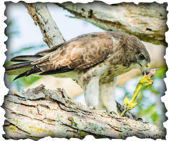 Hawaiian hawk, 'Io, Buteo solitarius, endemic birds, Hawaii, raptor, nesting, breeding, bird of prey,
