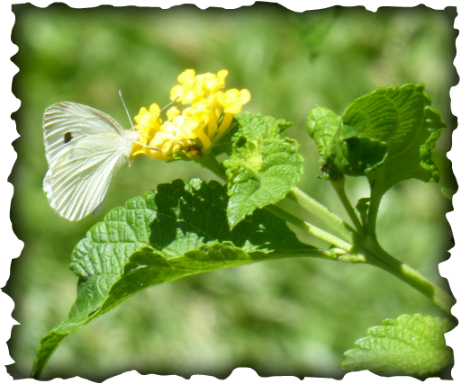 white butterfly, Hawaii, cabbage white, little white, Pieris rapae, cruciferous vegetables, insects, egg, holes in leaves, green caterpillar, dot on wing, agricultural pest