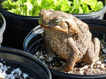 giant toad hawaii, bufo marinus, cane toad, marine toad, big toad