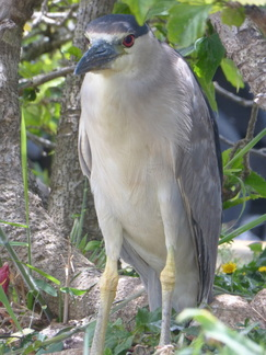 Black-crowned night heron, waterbird, hawaii, wetlands, nature, birds,