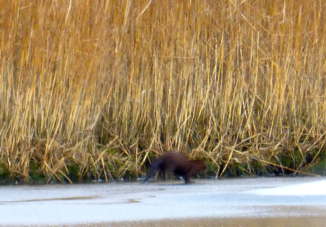 river otter, Lontra canadensis, spraint, musk, mustelidae, dense fur, long tail, brownish, arched back, water adaptations, fresh water, brackish water, salt water, diet