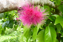 ōhiʻa ʻai, mountain apple, Syzygium malaccense, pink carpet, trails, Hawaii, red fruit, pear-shaped, canoe plant,  pink pom-pom flower, fruit, dye