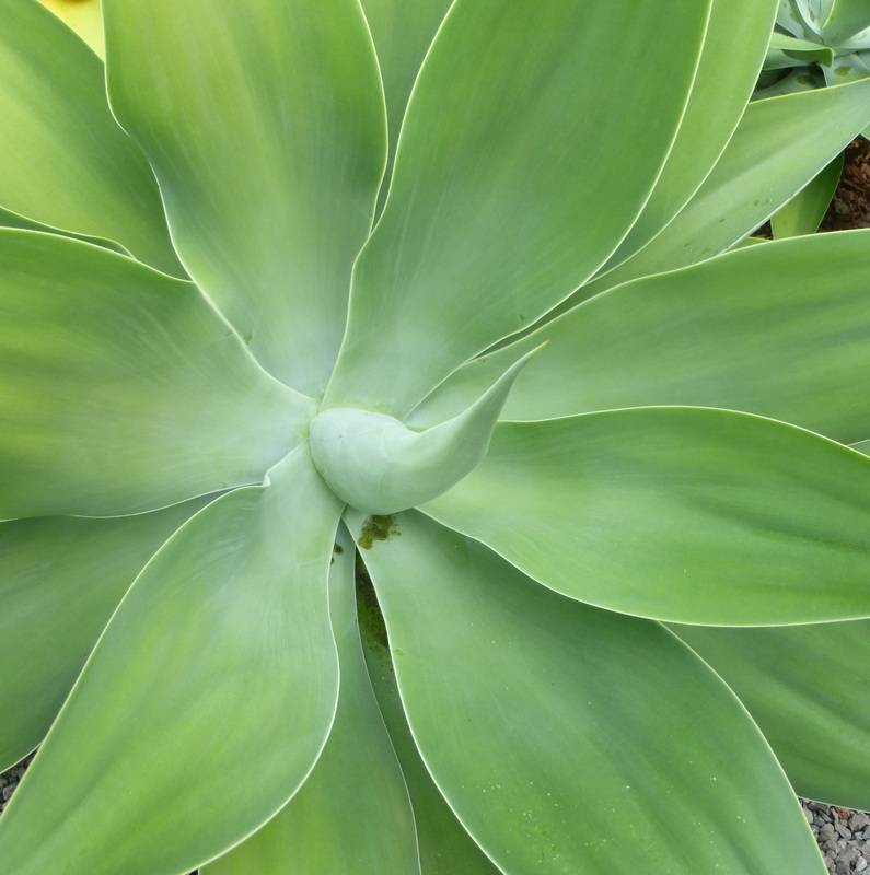 agave attenuata, swan's neck agave, dragon tree agave, spineless century plant, curved flower spike, blue green leaves, succulent, Hawaii, landscape, xeriscape