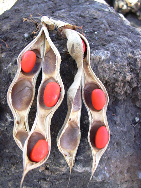 wiliwili, kahoolawe, Erythrina sandwicensis, endemic plants, dryland forests, seed pods, red seeds, three seeds, orange seeds, seeds for lei, lei making