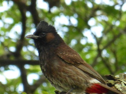 red vented bulbul, hawaii, birds, butterfly, monarch, nature