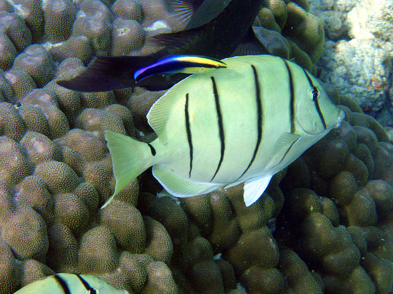 convict tang, surgeonfish, fish, Hawaii, endemic, cleaner wrasse