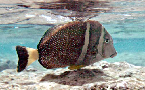 Ancarthus guttatus, Whitespotted surgeonfish, white stripes, flattened body, white and brown tail, fish, Hawaii, reef