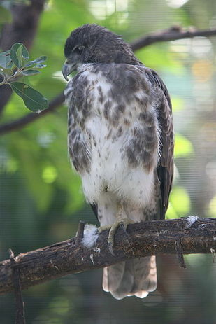 Buteo solitarius, Hawaiian hawk, 'Io, bird of prey, Hawaii, raptor, nesting, breeding
