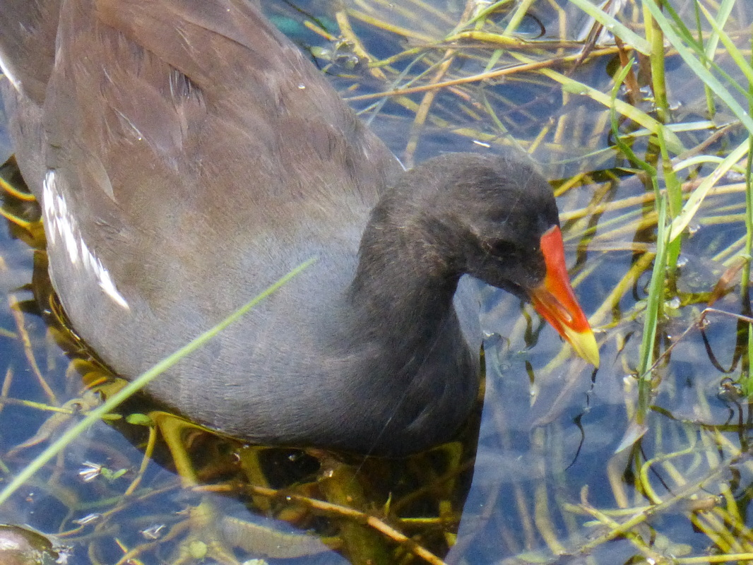 'Alae 'Ula, Hawaiian moorhen, Gallinula chloropus sandvicensis, marsh birds, wetlands, water birds, Hawaii