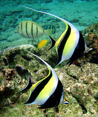 Moorish idol, kihikihi, fish, hawaii, reef fish, Zanclus cornutus, pennant butterflyfish, fish that looks like moorish Idol, black, white and yellow fish, long dorsal fin